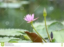 Lotus Flower Bloom - pink lotus flower bloom in pond water lily in the public park