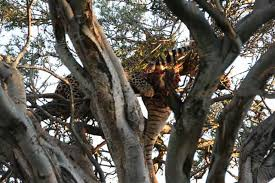 a steals a leopard s kill in a tree africa geographic