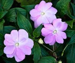 impatiens flowers impatiens