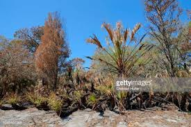 Florida Vegetaion images Saw palmetto stock photos and pictures getty images
