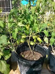 winter gardening results in florida florida hillbilly