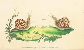 Types Of Garden Snails File The Naturalist U0027s Miscellany Vol 1 Garden Snail Jpg