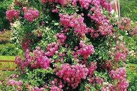 kletterpflanzen fã r balkon kletterpflanzen winterhart bluhend mehrjahrig kletterpflanzen
