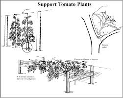 tomatoes staking mississippi state university extension service