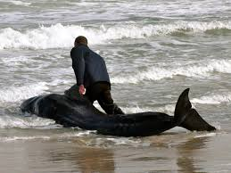 right whales soar off flagler u0027s coast but two beached pilot