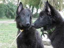 belgian sheepdog youtube de 15 bästa belgian sheepdogs best dogs ever bilderna på