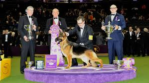 affenpinscher won westminster german shepherd wins best in show at westminster petcha
