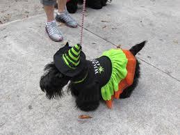 affenpinscher in orlando fl scottish terrier club of tampa bay stctb events