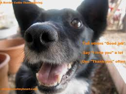 Animal Advice Meme - border collie s thanksgiving advice
