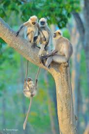 picture of young langur monkey wins wildlife photographer of the