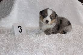 australian shepherd indiana wyeth u0027s toy and miniature australian shepherds home facebook