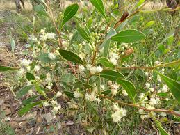 what is botanical definition samara