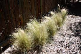 garden fascinating low water plants mexican feather grass