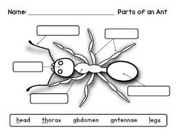 thorax ant clipart explore pictures