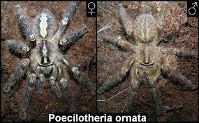 poecilotheria theraphosids tarantulas of the world keeping