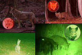 green light for hog hunting orion m30c green or red 700 lumen 377 yards long range hog predator
