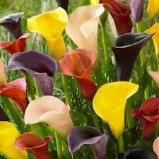 calla colors calla assorted colors flower bulbs garden plants