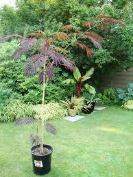 summer chocolate mimosa tree plants encyclopedia