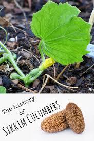 best 25 cucumber varieties ideas on pinterest growing zucchini