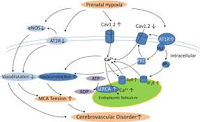 prenatal hypoxia induced dysfunction in cerebral arteries of