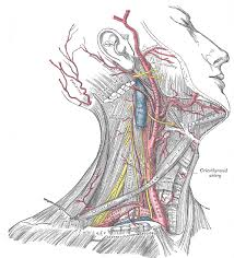 Right Side Human Anatomy Anatomy Of Body Superficial Dissection Of The Right Side Of The