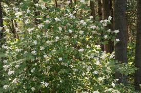 california native plants landscaping the wild garden hansen u0027s northwest native plant database