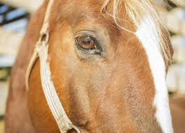 Signs Of Blindness In Horses Corneal Ulcers In Horses Petmd
