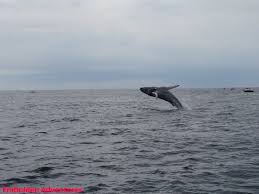 Whale Watches Cape Cod - whale watching great white sharks and other fun in cape cod