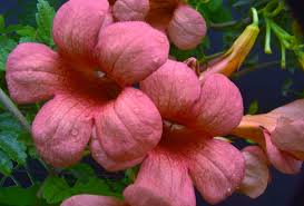 hummingbird trumpet flowers 1 free stock photo public domain