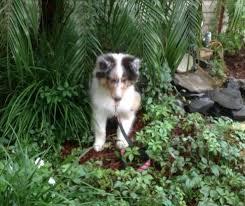 australian shepherd uglies puppy place