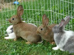 at home pets best practices breeding for rabbit health