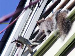 Squirrel In Basement by How To Get Rid Of Squirrels In The Attic Top Ways To Eradicate