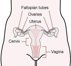 The Female Anatomy Cervix Definition Anatomy U0026 Function Video U0026 Lesson Transcript