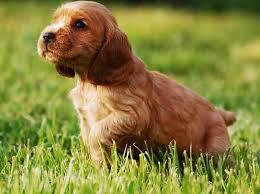 imagenes de english cocker spaniel english cocker spaniel gun dog or best family pet