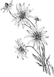 coloring pages daisy flower