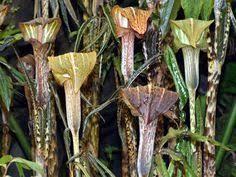 scottish rock garden club u003ebulb log р ароидные araceae