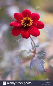Dark Red Flower - dahlia u0027bishop of auckland u0027 single red flower showing yellow
