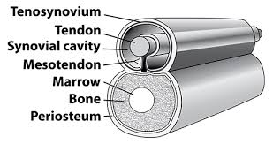 Tendon Synovial Sheath Joints Bursae U0026 Tendons Origins Jeffrey Burch