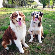 australian shepherd breeders near me australian shepherd dog breeder in fort payne alabama usa