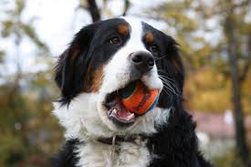 Wallpaper Dog Bernese Mountain Dog Wallpapers Hd Download