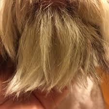 how to groom a belgian sheepdog split ends on a dog