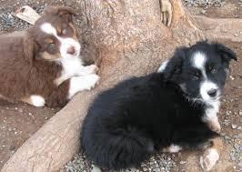 8 week old mini australian shepherd kissme kennels puppies