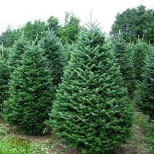frasier fir trees frasier fir tree 9 10 the