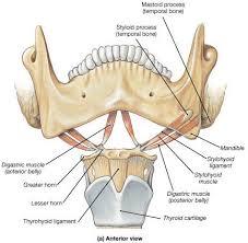 Human Jaw Bone Anatomy Hyoid Bone Anatomy Human Anatomy