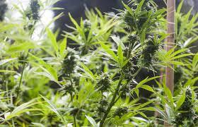 flower gardening 101 home gardening 101 cannabis now