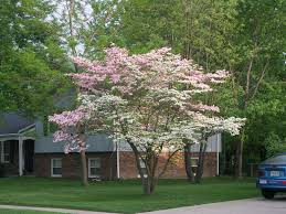 flowering dogwood cornus florida is a small flowering tree