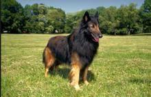 belgian sheepdog what s good about em tervuren belgian shepherds what u0027s good about u0027em what u0027