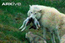 grey wolf canis lupus 08 arkive