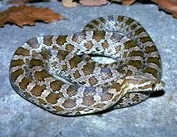 great plains ratsnake great plains rat snake house snake emory u0027s