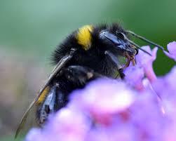 bees derbyshire wildlife trust